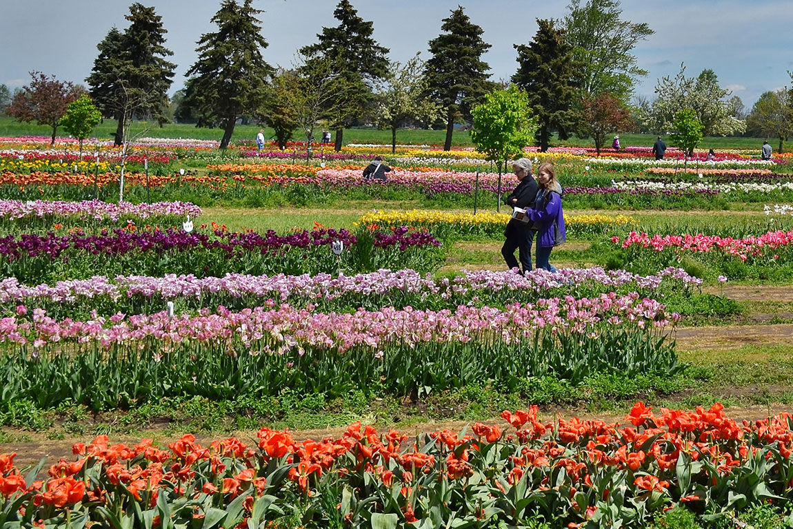Veldheer Tulip Gardens in Holland, Michigan
